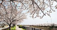 三郷市放水路桜並木(三郷市栄1ほか) 約90m(徒歩2分)