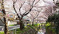 東川の桜 約460m(徒歩6分)