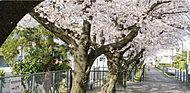 明治用水沿いの桜並木 約130m(徒歩2分)