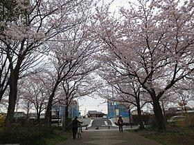 大塚山公園の桜が毎年楽しみです!