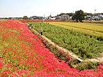 矢勝川の彼岸花(8月以降が見ごろです)