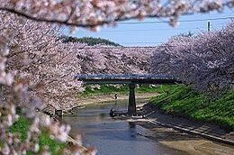 春になると曽我川沿いに咲くさくらは地元では有名な花見スポットです現地より10m