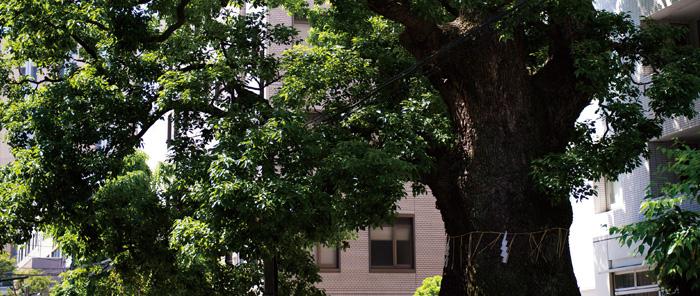 文京区の保護樹木「樹齢600年の大楠」 約530m(徒歩7分)