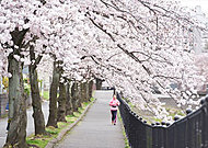 乞田川 桜並木 約1,600m(徒歩23分)