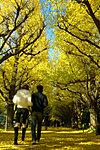 神宮明治外苑 銀杏並木 約290m