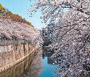 神田川桜並木 約130m(徒歩2分)(平成30年4月撮影)