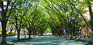 松丘小学校前の桜並木 約740m(徒歩10分)
