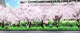 300m以上に渡り桜が連なるサクラプロムナード