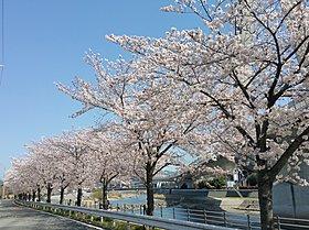 桜並木が美しい幹線道路。