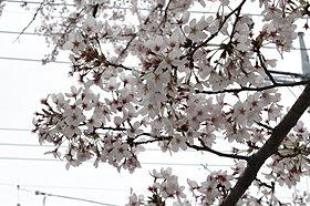 桜の花がきれいなところの多い吉川市