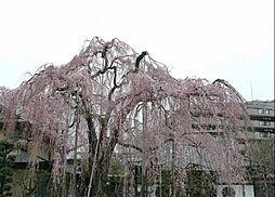 高楽寺 枝垂桜