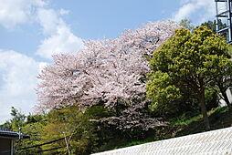 裏の桜が綺麗で...