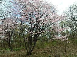 緑ヶ丘公園 桜...