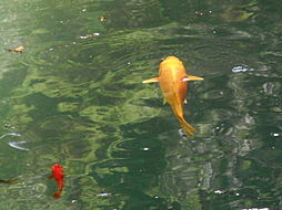 色とりどりの鯉...