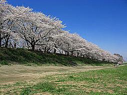 権現堂の桜並木