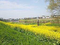 春には菜の花を...