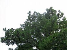 敷地内にそびえたつシンボリツリー