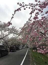 近隣堤防の桜並...