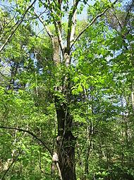 大きな木が10...