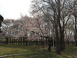 隣地公園の桜